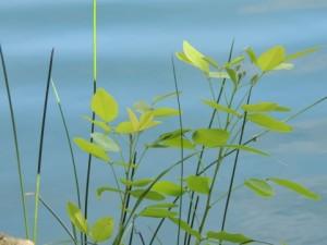 leaf150804