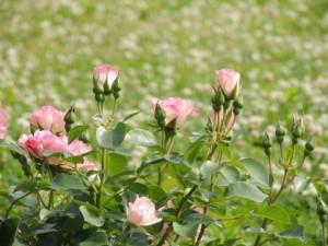 flower160301-2